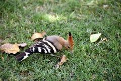 huppe d'oiseau Photos libres de droits