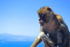 Hupper małpa Zdjęcia Stock