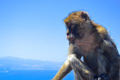 Hupper Monkey. A small monkey in the top of the hupper rock gibraltar Stock Photos