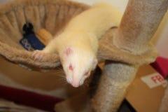 hurón Adulto femenino del albino Fotos de archivo libres de regalías