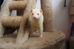 hurón Adulto femenino del albino Imagenes de archivo
