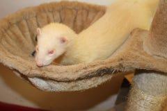 Hurón coloreado albino de la hembra adulta Foto de archivo libre de regalías