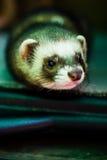Hurón curioso del animal doméstico Imágenes de archivo libres de regalías