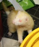 Hurón del albino de la hembra adulta Fotos de archivo