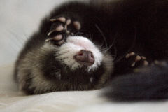 Hurón el dormir Foto de archivo libre de regalías
