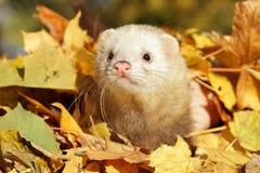 Hurón en hojas de otoño Imagenes de archivo