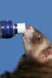 Hurón en la botella