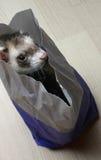 Hurón en un bolso Foto de archivo