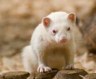 Hurón lindo del albino fotografía de archivo