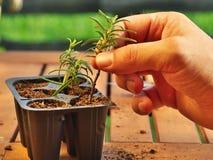 Hur man fortplantar rosmarin Arkivfoto