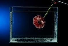Hur man gör härliga bilder av blommor av gerberas i ett akvarium med mineralvatten Foto av gerberablomman Arkivbild