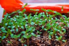 Hur växande plantor Arkivfoto
