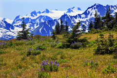 Huracán púrpura del Lupine de las montañas de la nieve olímpico Imagen de archivo