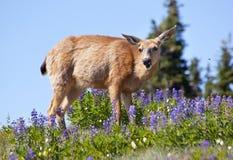 Huracán púrpura Ridge del Lupine de los ciervos de la cola blanca Imágenes de archivo libres de regalías