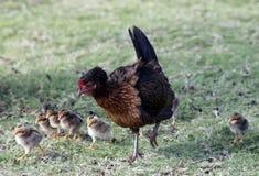 Huraganowi Iniki kurczaki zdjęcie stock