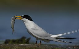 Huray,我得到了一大一个,说birdling 图库摄影
