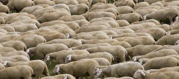 Hurd de moutons photo stock