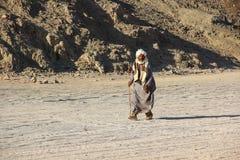 HURGHADA, ÄGYPTEN - 24. April 2015: Der alte Beduine mit einem Stock gehend durch die Wüste auf dem Hintergrundsand und den Berge Lizenzfreies Stockfoto