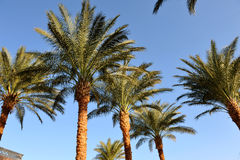 HURGHADA, EGYPT - OCTOBER 14, 2013:Beautiful palm trees in a tropical luxury hotel on the shores of the Red Sea Stock Image