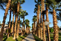 HURGHADA, EGYPT - OCTOBER 14, 2013:Beautiful palm trees in a tropical luxury hotel on the shores of the Red Sea Stock Photo