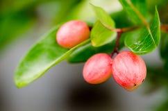 Hurlement de bâillement de chaux de mangue images stock