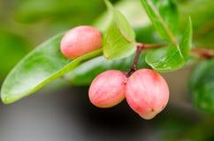 Hurlement de bâillement de chaux de mangue images libres de droits