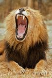 Hurlement de lion Images stock