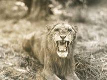 Hurlement de lions Photo stock