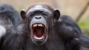 Hurlement fâché de chimpanzé Photographie stock libre de droits