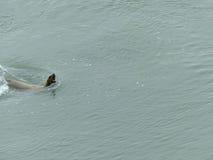 Hurlement territorial de phoque fâché Images libres de droits