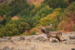 Hurlements de cerfs communs affrichés photos libres de droits