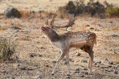Hurlements de cerfs communs affrichés photo libre de droits
