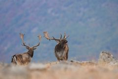 Hurlements de cerfs communs affrichés image libre de droits