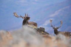 Hurlements de cerfs communs affrichés images libres de droits