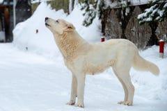 Hurlements de chien images stock