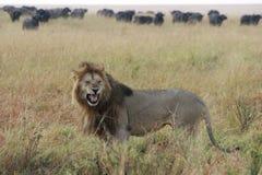 Hurlements masculins de lion photo stock