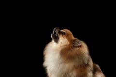 Hurlements rouges de chien de Spitz de Pomeranian de plan rapproché d'isolement sur le fond noir images libres de droits
