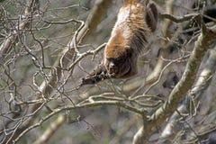 Hurleur de Brown ou singe brun d'hurlement Photo libre de droits