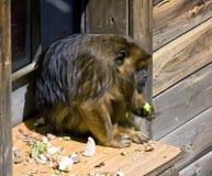 Hurleur de singe image libre de droits