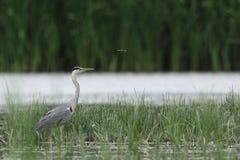 Huron gris con la mosca del dragón Foto de archivo libre de regalías
