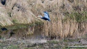 Heron Landing stock image