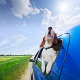 Hurrah! A vacation!. The cute beagle  travels in the blue car Royalty Free Stock Images