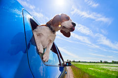 Hurrah! A vacation!. The cute beagle  travels in  blue car Royalty Free Stock Photography