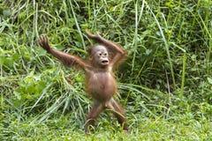 Hurray. Little orangutan  is having fun Royalty Free Stock Photography