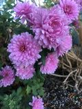 Hurray voor hydrangea hortensia 2 stock fotografie