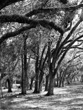 Hurricane Bent Oak Trees. These beautiful Trees are bent by the many hurricanes they have endured over the decades. They stand resilient in a state park that royalty free stock photo