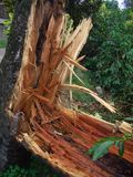 Hurricane Damage. The result of Hurricane Ivan on a tree in a coffee farm in the Blue Mountains, Jamaica, Caribbean Royalty Free Stock Images