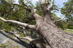Hurricane Irma downed oak tree. A massive live oak tree downed from the force of Hurricane Irma royalty free stock image