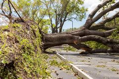 Hurricane Irma downed oak tree Stock Image