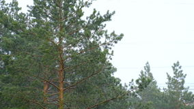 Hurricane rain trees. Hurricane in Siberia, heavy rain, and the oppression of the trees stock video footage